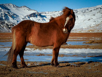 Icelandic Horse - Purest breed